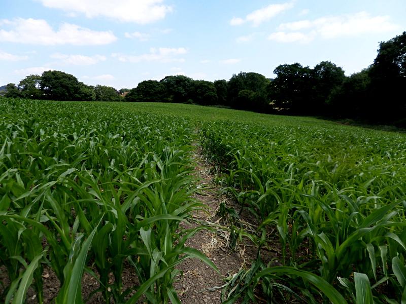 Rambler's Way quer durch ein Maisfeld