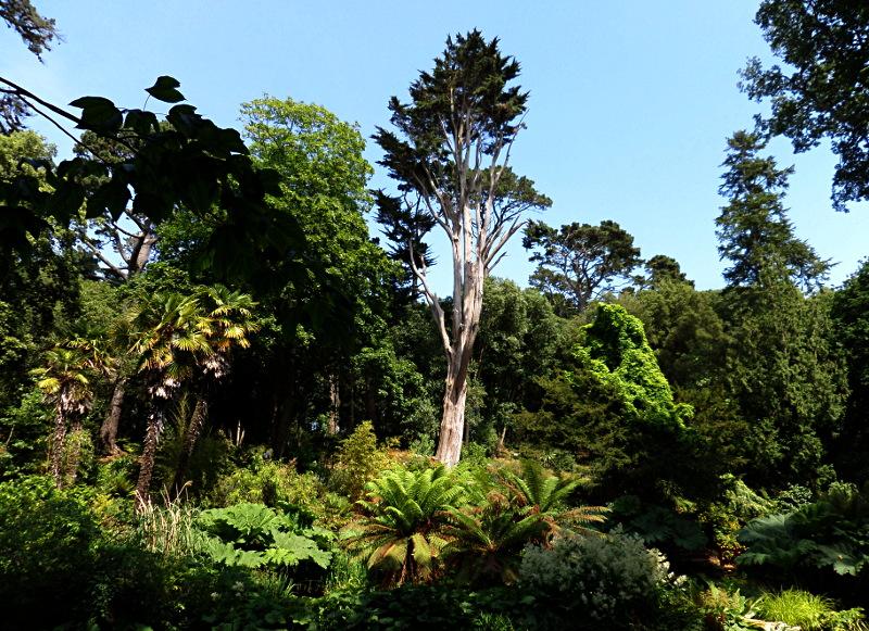 Abbotsbury Subtropical Gardens, Monterey Cypress