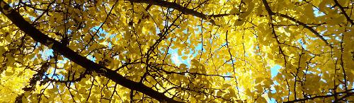 Novembergingko im Botanischen Garten