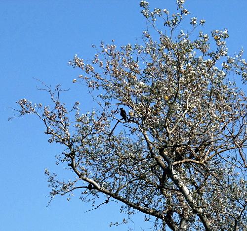 Zwei Krähen auf trockenem Baum