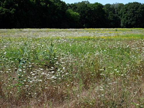 Sommerwiese in der Lobau
